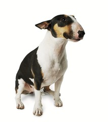 Bull Terrier dog on white background