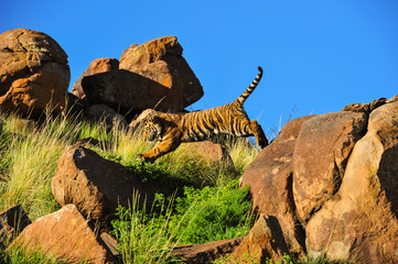 A young tiger leaping from a rock