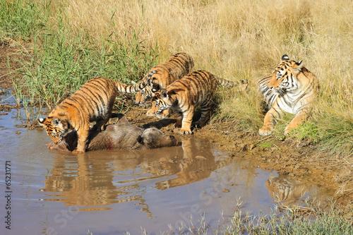 Deurstickers Tijger Tiger mother with her cubs