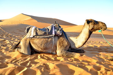 Camel rest in the sand