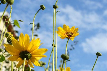 Beautiful flowers with yellow petals on a background of blue sky