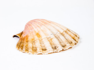One scallop isolated on white background