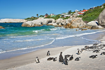 African penguins, Boulders national Park, South Africa