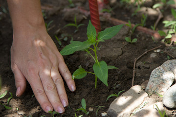 young plant planted female hands