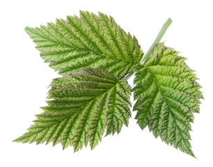 Raspberry leaf isolated on white with clipping path
