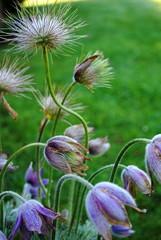Pulsatilla  anemone