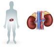 Human kidneys detailed anatomy diagram