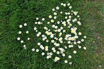 Gänseblümchen auf einer grünen Wiese