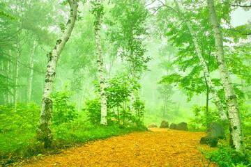 白樺林の小道