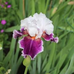Iris des jardins