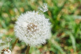 seed head of dandelion blowball on lawn - 65242579