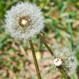 two seed heads of dandelion blowballs close up - 65242589