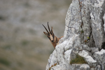 camoscio appenninico(Rupicapra rupicapra ornata)