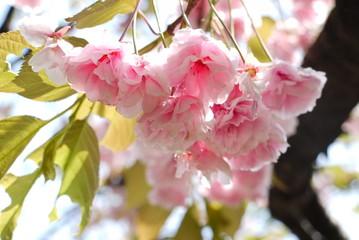 Cherry blossom ,sakura flower