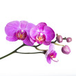 canvas print picture - orchid  isolated on white