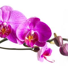 orchideen blüte mit knospen