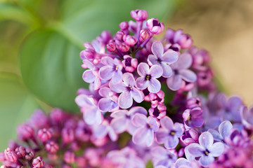 beautiful lilac flowers in nature