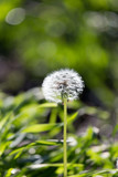 dandelion in nature - 65248521