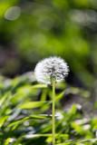 dandelion in nature - 65248521