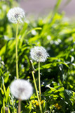 dandelion in nature - 65248527