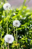 dandelion in nature - 65248527