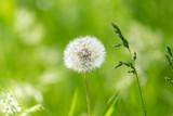 dandelion in nature - 65249965