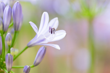 African Lily flowers in garden