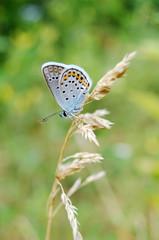Бабочка Голубой икарус или Голубянка на сухой травинке