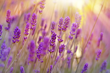 Lavender lit by sun rays and late afternoon