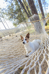 Relaxed jack Russell Terrier Relaxing in a Hammock