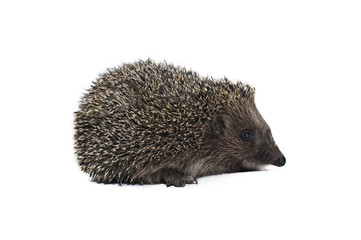 spiny hedgehog on white background