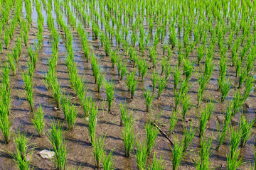 Growth of rice, Background