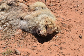 Rotting corpse of a dog by the side of the road in Utah.