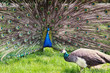 Peacock couple (Pavo cristatus)