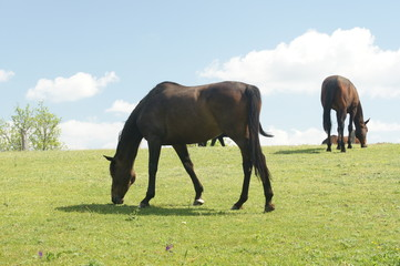 Horses on pasture, Lednice, Czech republic