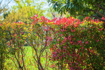 Japanese photinia, green and red leaves