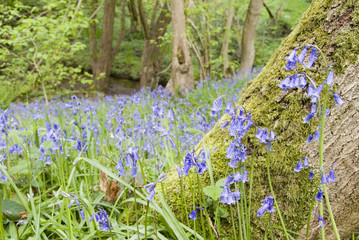 Bluebells in Spring woodland