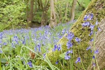 Bluebells in Spring woodland