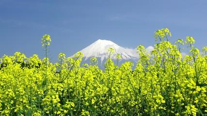 富士山と菜の花畑