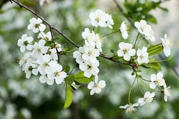 white spring flowers on cherry branches