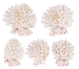 group of light color polyps on white
