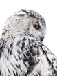 isolated black and white owl