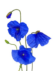 bunch of wild blue poppy flowers on white