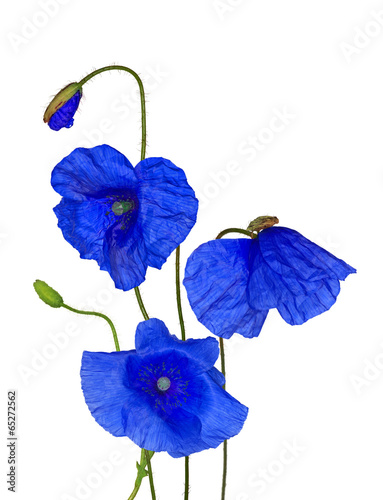 Foto op Canvas Poppy bunch of wild blue poppy flowers on white