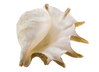 Big seashell