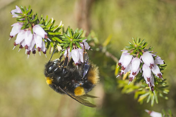 Bumblebee on Pink Heather