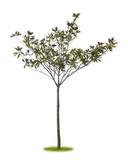 Freigestellter Magnolienbaum