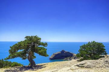 Old juniper near the sea on the mountain