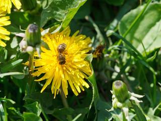 bee gathering nectar from dandelion flower