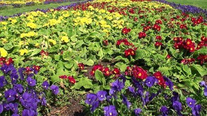 Flowerbed with colorful Viola flowers.